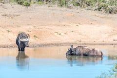 Африканские буйволы в воде Стоковые Изображения RF