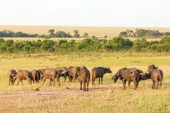 Африканские буйволы на саванне Стоковые Фотографии RF
