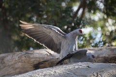Африканские голуби Стоковые Фотографии RF