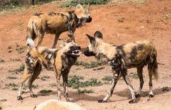 Африканские дикие собаки рычая показывающ зубы стоя на красной грязи Стоковые Фотографии RF