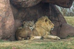 Африканские лев и львица Стоковое Изображение
