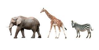 Африканские животные изолированные на белой предпосылке Стоковое Изображение