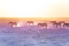 Африканские зебры идя на пылевоздушные равнины, Кению Стоковое Фото