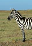 африканские зебры Стоковые Фото