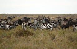 африканские зебры Стоковое фото RF