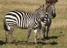 африканские зебры Стоковая Фотография