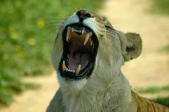 африканские зубы стоковое изображение rf