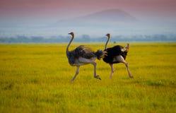 Африканские идущие ostrichs Стоковые Фотографии RF