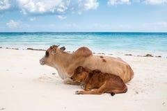Африканские коровы отдыхают на пляже Стоковая Фотография RF