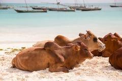 Африканские коровы отдыхают на пляже Стоковые Изображения RF
