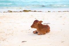 Африканские коровы отдыхают на пляже Стоковые Изображения