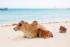 Африканские коровы отдыхают на пляже Стоковое Изображение