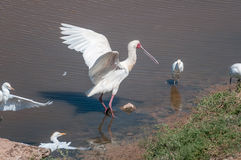 Африканские колпица и egrets скотин Стоковое Изображение RF