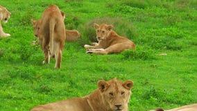 Африканские львы закрывают вверх в Ndutu видеоматериал