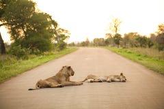 Африканские львы лежа в дороге Стоковое Фото