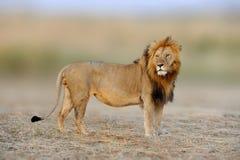 Африканские львы, пантера leo, национальный парк Mara Masai, Кения, Af Стоковое Фото
