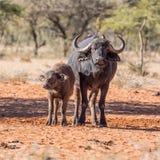 Африканские мать и икра буйвола Стоковое Изображение RF