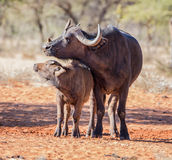 Африканские мать и икра буйвола Стоковая Фотография