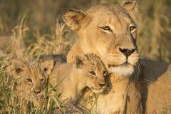 Африканские мать льва и Cubs (пантера leo) Южная Африка Стоковые Фотографии RF