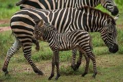 Африканские младенец и мать зебры Стоковое Изображение