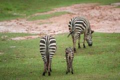 Африканские младенец и мать зебры Стоковое Фото