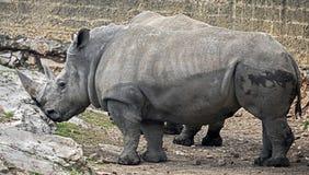 Африканские носороги Стоковое Изображение