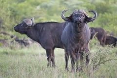 Африканские пары буйвола Стоковое Фото