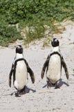 Африканские пары пингвина Стоковая Фотография