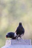 Африканские пестрые starlings (Spreo bicolor) Стоковая Фотография RF
