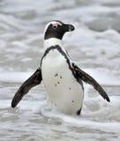 Африканские пингвины Африканские пингвины (demersus spheniscus), также известные как пингвин jackass и черно-footed пингвин виды Стоковая Фотография