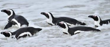 Африканские пингвины Африканские пингвины (demersus spheniscus), также известные как пингвин jackass и черно-footed пингвин виды Стоковое Изображение