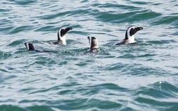 Африканские пингвины в Индийском океане Южной Африке Стоковое Изображение RF