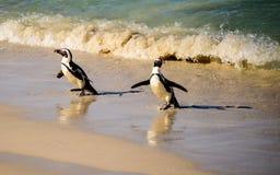 Африканские пингвины и их тени распарывая на пляже Стоковое фото RF