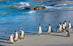 Африканские пингвины идут из океана на песчаном пляже Африканское demersus spheniscus пингвина также известное как pengui jackass Стоковые Фотографии RF