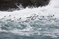 Африканские пингвины на море в Индийском океане Стоковое Изображение RF