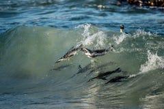 Африканские пингвины плавая в океанской волне Африканский пингвин (demersus spheniscus), также известный как пингвин jackass и че Стоковое Изображение RF