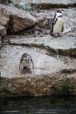 Африканские пингвины Стоковое фото RF