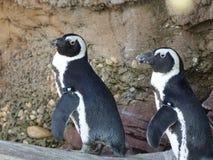 Африканские пингвины 12 Стоковое Фото