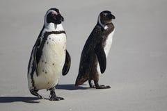 Африканские пингвины (demersus spheniscus) Стоковые Фото