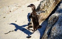 Африканские пингвин и тень перескакивая от утеса Стоковое Изображение RF