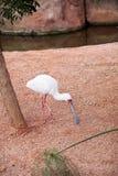 Африканские птицы колпицы на зоопарке Стоковые Изображения RF