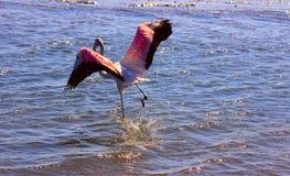 Африканские розовые бега фламинго через воду стоковая фотография