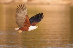 африканские рыбы орла Стоковая Фотография RF