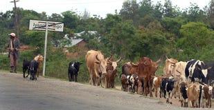 Африканские скотины Стоковые Изображения RF