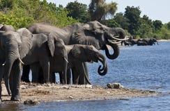 африканские слоны Ботсваны Стоковое Изображение RF
