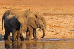 Африканские слоны выпивая на waterhole поднимая их хоботы, национальный парк Chobe, Ботсвану, Африку стоковые фотографии rf