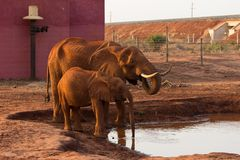 Африканские слоны в саванне стоковая фотография