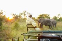 Африканские слоны в южно-африканском запасе игры стоковое фото rf