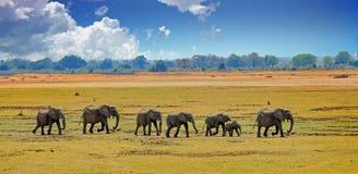 Африканские слоны на африканских равнинах с славным пасмурным голубым небом Стоковые Фотографии RF