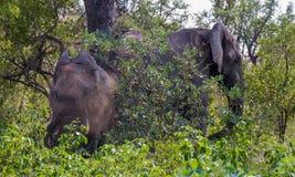 Африканские слоны принимают ванну пыли в кусте Стоковые Изображения